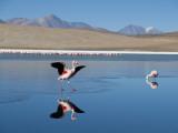Andean Flamencos (Phoenicopterus Andinus) at Laguna Canapa  Chiguana
