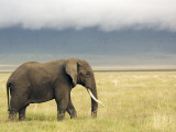 African Elephant (Loxodonta Africana)