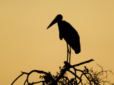 Silhouette of Marabou Stork (Leptoptilos Crumeniferus)