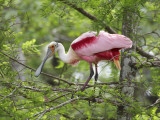 Roseate Spoonbill at Lake Martin Near Breaux Bridge