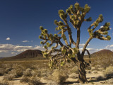 Joshua Tree in Cinder Cone Lava Beds Area from Aikens Mine Road in Mojave National Preserve