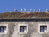 Seagulls on Rooftop