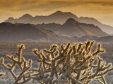 Cholla Cacti with Providence Mountains  Mojave National Preserve
