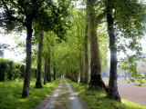 Avenue of Trees Leading Near Vitrac  Dordogne Valley