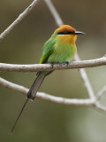 Bohm&#39;s Bee-Eater (Merops Boehmi)  Liwonde National Park