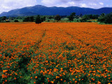 Field of Marigolds Near Mysore