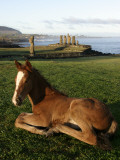 Foal in Front of Moai Statues of Ahu Vai Uri and Tahai