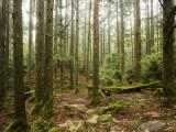 Forest Along Arakawa Trail to Jomon Sugui (Giant Tree)