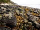 Kelp on Beach Near Telegraph Cove
