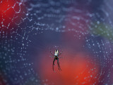 Spider in Centre of Web Covered in Rain Droplets