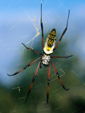 Female (Large) and Male (Small) Giant Orb-Weaving Spiders (Nephila Sp) on Web