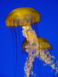 Jellyfish in Monterey Bay Aquarium
