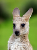 Young Kangaroo (Macropus Giganteus) at Pretty Beach