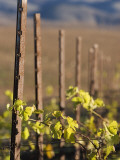 Vines in Winter at Carmel Road's Valley View Vineyard