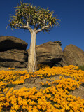 Quiver Tree (Aloe Dichotoma) and Flowering Daisies in Spring  Namaqualand
