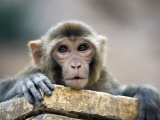 Monkey (Rhesus Macaque) at Monkey Temple  Galta