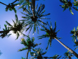 Palm Trees from Below at Anakena