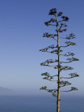 An Agave Plant (Agave Americana)  Overlooking Pacific Ocean