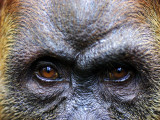 Close-Up of Female Orang-Utan  Gunung Leuser National Park