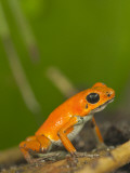 Strawberry Poison Frog (Dendrobates Pumilio)