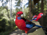 Rosella Birds at Barrington Tops Huts