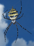 Garden Orb Spider (Argiope Australis)