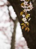 Cherry Blossums (Sakura) Near Shizunai