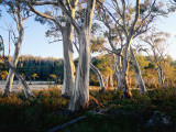 Snowgums Near Lake St Clair