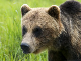 Brown Bear at Alaska Wildlife Conservation Center