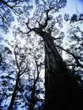 Eucalypt Trees from Below in Southeast Tasmania