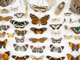 Butterfly Collection at Finca Hartmann