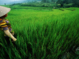 Wet Rice Is Commonly Grown in Terraced Mountain Valleys of Northern Vietnam  Tran Nua
