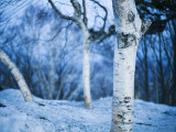 White Trees and Snow at Mount Moiwa Lookout