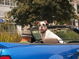 Dog Wearing Goggles  Passenger of Convertible Car on Vanness Avenue