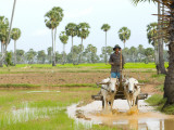 Farmer in Rice Fields North of Phnom Penh