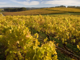 Autumn in the Tamar Valley Vineyards