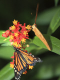 Butterflies Including Monarch Butterfly (Danaus Plexippus)
