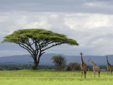 Maasai Giraffe (Giraffa Camelopardalis Tippelskirchi)