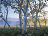 Snowgums at Navarre Plains  South of Lake St Clair