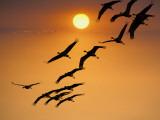 Sandhill Crane (Grus Canadensis) Migration Along Platte River