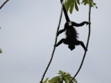 Male Mantled Howler Monkey (Alouatta Palliata) Splayed in Tree