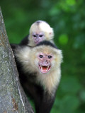 White-Faced Capuchin (Cebus Capucinus) Protects its Baby at Monkey Island Near Merida
