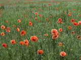 Field of Red Poppies Near Lagow