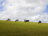 Friesian Dairy Cows Grazing