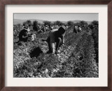 Carrot Pullers Harvesting in Coachella Valley  California  Feb 1937