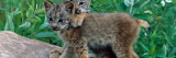 Pair of Lynx Kittens Playing on Rock  Minnesota