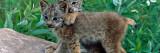 Pair of Lynx Kittens Playing on Rock  Minnesota