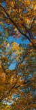 Low Angle View of Autumn Color Tree Canopy  Palisades-Kepler State Park  Iowa