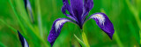 Oregon Iris Bud and Flowers in Bloom