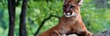 Female Cougar Lying on Rock  Minnesota